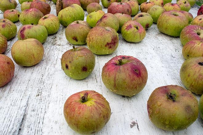 Bramley apples on white table