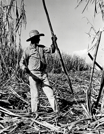 Man harvests sugar cane in Cuba (Library of Congress Photo Library)